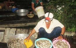 Người dân ĐBSCL trắng đêm đánh bắt cá linh với niềm vui bội thu