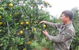 Đua nhau trồng, cam Cao Phong giảm giá mạnh
