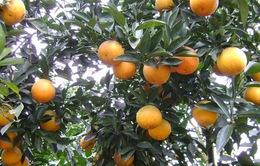 Nghệ An sẽ dán tem điện tử cho 550.000 quả cam trong năm 2017