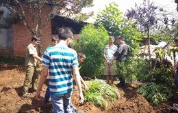 Lâm Đồng: Phát hiện 849 cây cần sa trồng trong vườn nhà