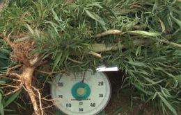 Phát hiện 25kg cần sa trồng trong nhà kính tại Đà Lạt