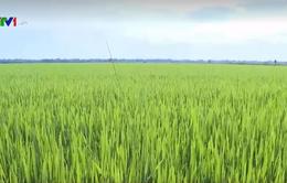 Thừa Thiên - Huế sẽ xây dựng 5.500 ha cánh đồng mẫu lớn