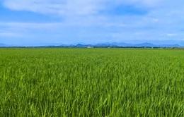 Thừa Thiên - Huế phấn đấu xây dựng 5.500 ha cánh đồng mẫu lớn