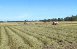 Thừa Thiên Huế phấn đấu mở rộng diện tích cánh đồng mẫu lớn