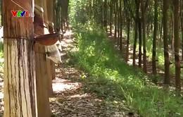 Cao su - Cây xóa nghèo ở vùng núi Tây Bắc
