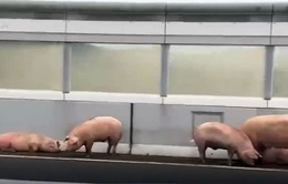 Đường cao tốc ngừng hoạt động do… đàn lợn sổng khỏi xe