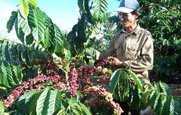 Phát triển cà phê Tây Nguyên bền vững vẫn còn bất cập
