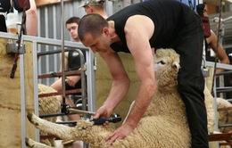 Giải VĐTG xén lông cừu tại New Zealand