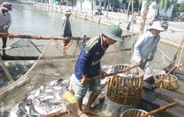 Giá cá tra tăng cao