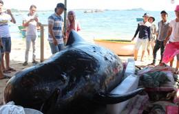 Quảng Ngãi: Ngư dân tổ chức an táng cá voi 700kg trôi dạt vào bờ