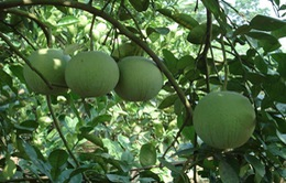 Cây bưởi - Từ rễ tới quả đều có khả năng chữa bệnh