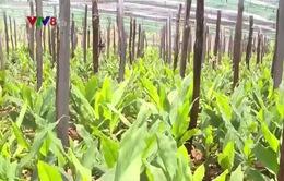 Nông dân Gia Lai đổ xô trồng cây nghệ