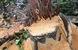 Bắt tạm giam 5 đối tượng phá rừng vùng lõi Vườn Quốc gia Ba Bể