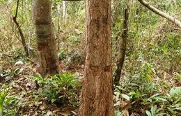 Muôn dạng thủ đoạn đầu độc và ăn cắp cây rừng