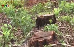 Vụ phá rừng thông tại TP. Huế: Cơ quan chức năng nói gì?