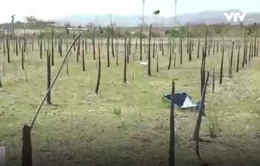 Hàng chục hecta cây trồng chết hàng loạt tại Bình Thuận