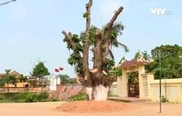 Hà Nội nghiêm cấm chặt cây xanh khi giải tỏa hành lang ATGT