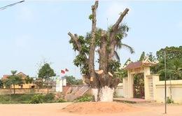 Hà Nội: Sẽ kiểm điểm cán bộ xã vụ chặt cây xanh khi dẹp vỉa hè