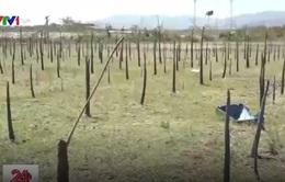 Bình Thuận phản hồi về hiện tượng cây trồng chết bất thường