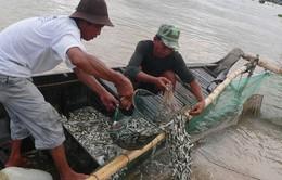 An Giang cấm khai thác cá linh non đến tháng 9/2017