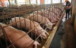 Cấm kháng sinh kích thích sinh trưởng trong chăn nuôi