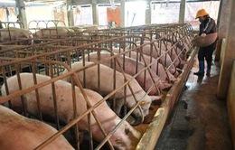 Bộ Công Thương nhập cuộc, giải cứu người chăn nuôi heo