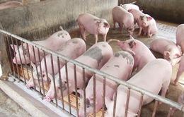 Hiệu quả từ mô hình liên kết chăn nuôi heo gia công tại Quảng Nam