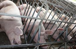 Cần thận trọng trước thông tin xuất khẩu thịt lợn chính ngạch