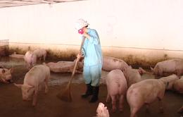 Mô hình chăn nuôi lợn theo chuỗi hướng đến xuất khẩu ở Bắc Ninh