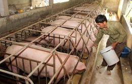 """Giá lợn hơi rẻ hơn... rau, Bộ Nông nghiệp """"cầu cứu"""" Thủ tướng"""
