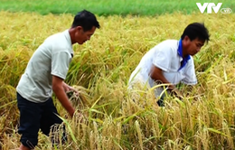 Đồng Tháp: Sản xuất lúa theo hướng hữu cơ để nâng cao chất lượng gạo