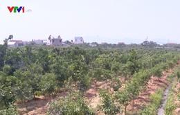 Lo mất mùa, nông dân Bắc Giang chặt vải trồng cam