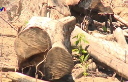 Trách nhiệm trong vụ phá hơn 43 ha rừng tại Bình Định
