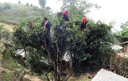 Chè Shan Tuyết – Đặc sản vùng rừng núi Hà Giang