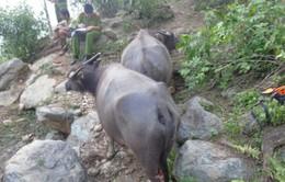 Hàng chục con trâu ở Thanh Hóa bị chém đứt gân chân