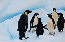 Thú vị sự kiện chim cánh cụt đi lễ đền đầu năm mới