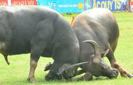Ngày 28/9, tiếp tục tổ chức hội chọi trâu Đồ Sơn
