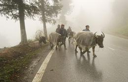 Sa Pa lạnh dưới 5 độ C, người dân chủ động phòng tránh rét cho gia súc