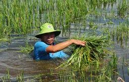 Hàng nghìn ha nông sản ở ĐBSCL chìm trong nước lũ