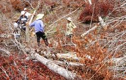 Phú Yên: Bắt cán bộ có hành vi phá rừng