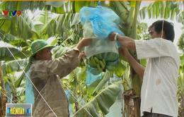 Hiệu quả mô hình chuối sạch xuất khẩu ở vùng biên