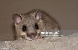 Paris chi 1,5 triệu Euro giải quyết vấn nạn chuột