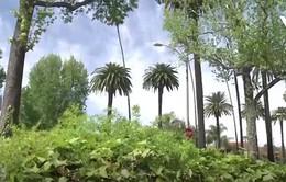 Cây cọ có nguy cơ biến mất khỏi Los Angeles