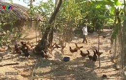 Xuất hiện cúm gia cầm tại Bạc Liêu