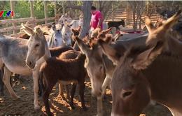 Người dân Chile thu lợi từ sữa lừa