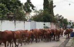 Người dân Đồng Nai khổ vì trại bò trong khu dân cư