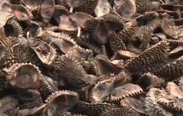 Ủ vỏ sầu riêng làm phân bón gây ô nhiễm môi trường
