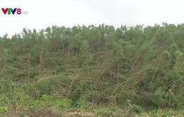 Quảng Bình hỗ trợ dân tiêu thụ gỗ rừng trồng bị gãy đổ do bão