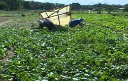 Phú Yên: Hàng loạt vùng trồng rau bắt đầu ngưng sản xuất