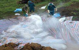 Thanh Hóa: Tiêu hủy 4000 con lợn chết do lũ lụt